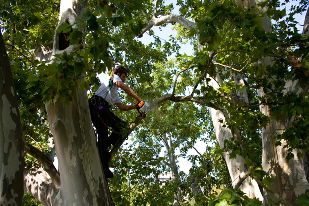 Baumschnitt Kronenteilkürzung