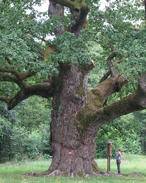 Oldest oak in Europe